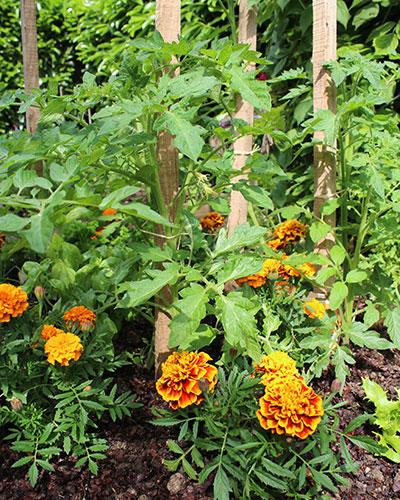 Cultiver des plantes compagnes à côté de vos légumes