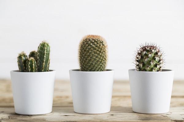 Les aiguillons des cactus