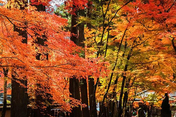 Les érables ont des feuilles rouges en automne