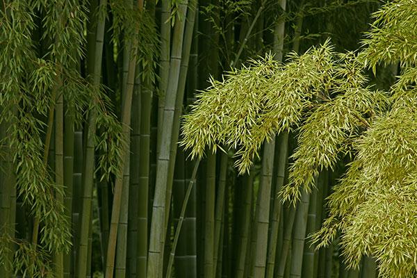 Les chaumes de bambou sont les tiges de cette plante