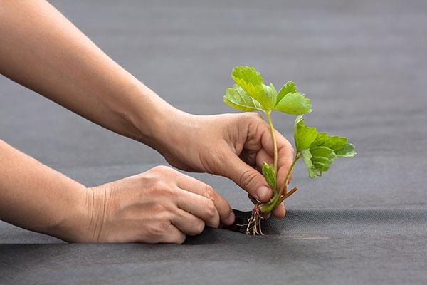 Il est important de ne pas enterrer le collet à la plantation du fraisier