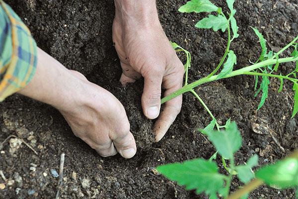 Enterrez le collet de la tomate pour lui assurer une bonne stabilité