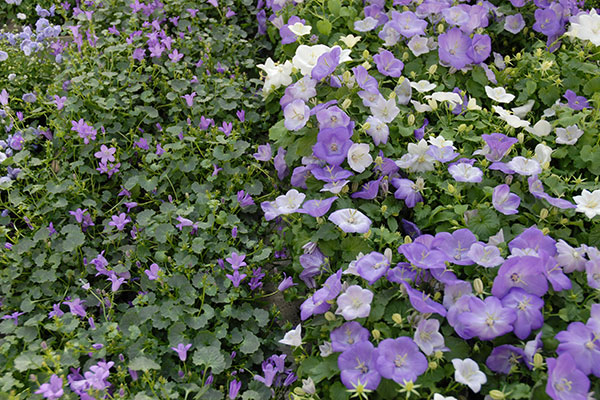 Des plantes couvre-sol à fleurs