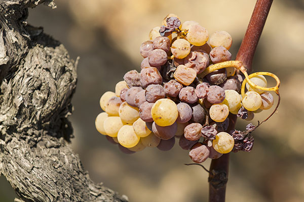 Une maladie cryptogamique sur le raisin