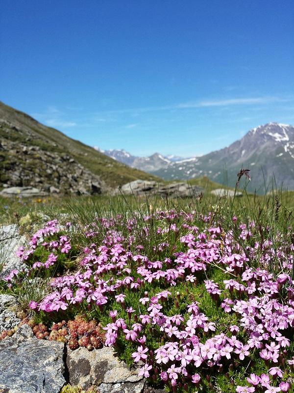Les fleurs alpines sont des fleurs de montagne