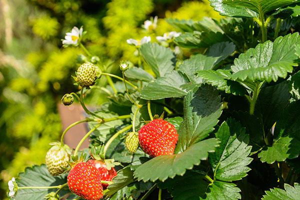 Les fraisiers sont des herbacées