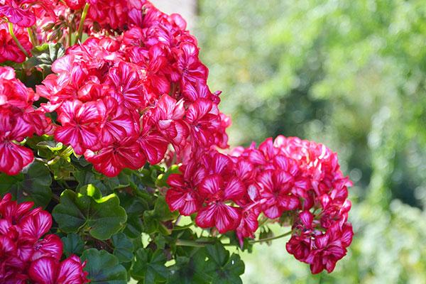 Le pélargonium ou géranium du balcon est une plante annuelle