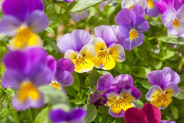 Les pensées sont des fleurs annuelles