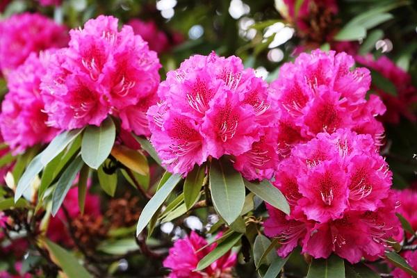 Le rhododendron, une plante de terre acide