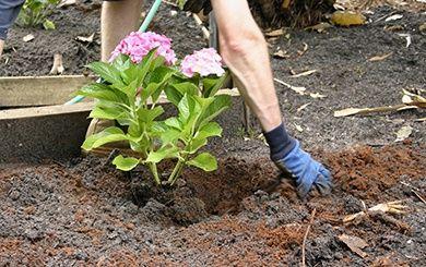 Hortensia paniculata 39 vanille fraise 39 renhy plantes et jardins - Comment planter un hortensia ...