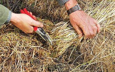Heuch re 39 pluie de feu 39 d sespoir du peintre plantes for Quand tailler les graminees