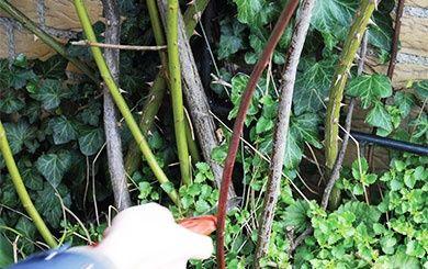 rosier grimpant 39 aim e vibert 39 rosier guillot plantes et jardins. Black Bedroom Furniture Sets. Home Design Ideas