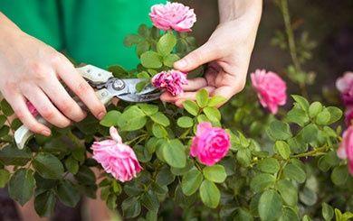rosier tige 39 edith piaf 39 meiramboys rosier meilland plantes et jardins. Black Bedroom Furniture Sets. Home Design Ideas
