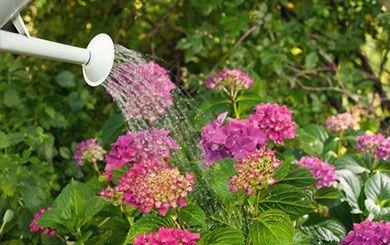 bruy re d 39 hiver 39 spring surprise 39 rose plantes et jardins. Black Bedroom Furniture Sets. Home Design Ideas