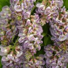 Glycine fructescens