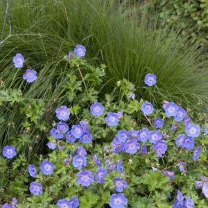 Geranium rozanne ®  – En pot de 14 cm