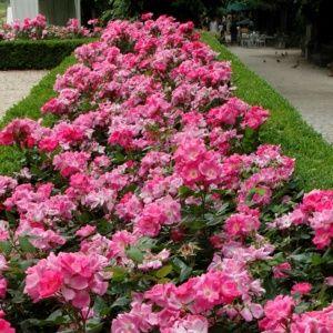 Rosier 'Rodin®' Meigadraz (Rosa x 'Rodin®' Meigadraz)