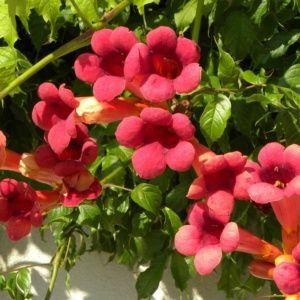Bignone radicans 'Atropurpurea' (Campsis radicans 'Atropurpurea')