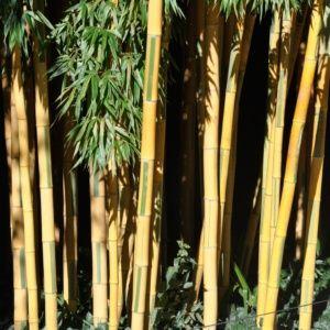 Bambou géant – Phyllostachys 'Castillonis' – En pot (30 litres) – hauteur 250/300 cm – PLANTES ET JARDINS – Jardinerie en ligne