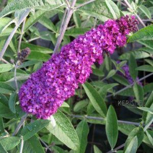 Arbre aux papillons 'Royal Red' – Pot de 4 litres.