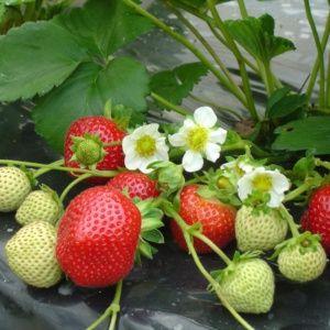 Fraisier 'Maestro®', le lot de 20 plants- PLANTES ET JARDINS – Jardinerie en ligne