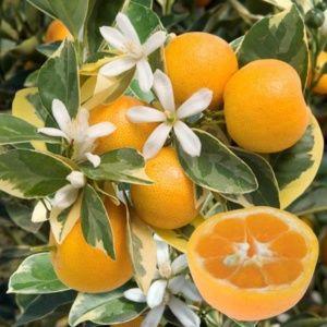 Oranger calamondin panaché – parfait agrume pour l'intérieur – Hauteur 40/60 cm – PLANTES ET JARDINS – Jardinerie en ligne