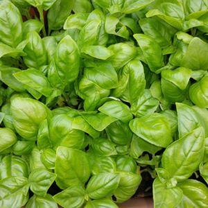 Basilic grand vert – 3 godets de 7 cm – PLANTES ET JARDINS – Jardinerie en ligne