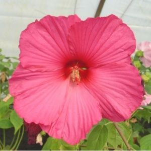 Hibiscus moscheutos rose