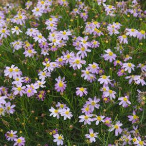 Coreopsis rosea american dream – Lot de 3 godets de 7 cm