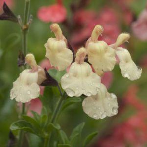 Salvia microphylla melen ® – Lot de 3 godets de 7 cm