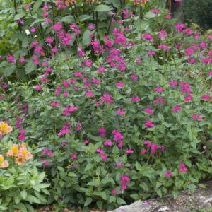 Salvia microphylla trenance – Lot de 3 godets de 7 cm