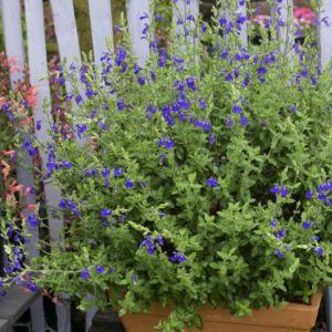 Salvia chamaedryoides – Lot de 3 godets de 7 cm
