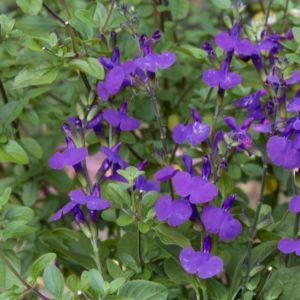Salvia microphylla blue