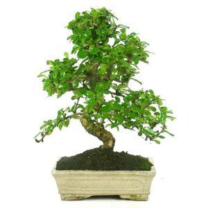 Bonsaï arbre : Carmona (10 ans) – Arbre tropical – arbre d'intérieur – Hauteur 40 cm – PLANTES ET JARDINS – Jardinerie en ligne