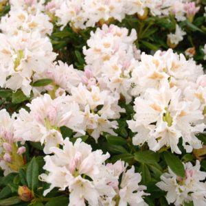 Rhododendron 'Cunningham White' – pot de 5 litres, hauteur 30/50cm, 3 ans d'age