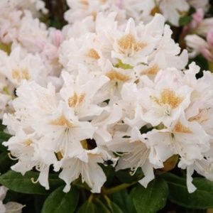 Rhododendron 'Cunningham's White' (Rhododendron x 'Cunningham's White')