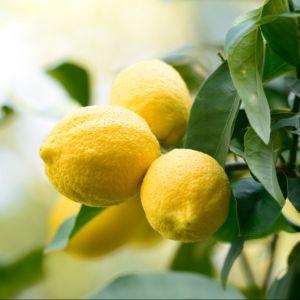 Citronnier des 4 Saisons – Agrume Pot de 3 litres – PLANTES-ET-JARDINS
