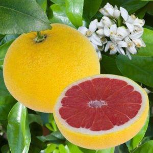 Pomelo à chair rose (Citrus x paradisi)