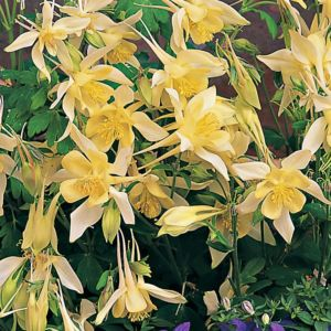 Aquilegia chrysantha yellow queen – Lot de 3 godets de 7 cm