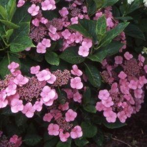 Hortensia 'Mousmée ' – pot de 3 litres, 5/7 branches