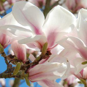 Magnolia 'Picture' – Pot de 5 litres