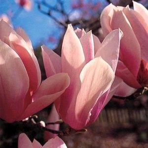Magnolia 'Heaven Scent' – Pot de 5 litres, hauteur 40/60 cm, 3/4 ans d'âge.