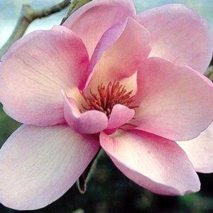 Magnolia 'Iolanthe' – Pot de 5 litres