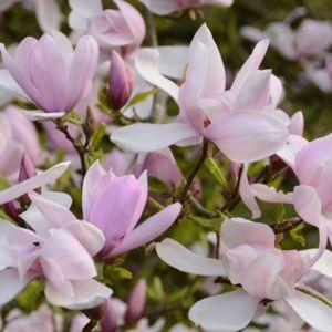 Magnolia 'Pinkie'