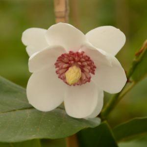 Magnolia sieboldii – Pot de 5 litres
