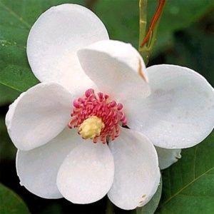 Magnolia sieboldii Pot de 5 litres, hauteur 40/60 cm, 3 ou 4 ans d'âge