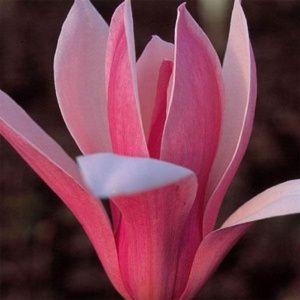 Magnolia 'Royal Crown' – Pot de 5 litres, hauteur 40/60 cm, 3/4 ans d'âge.