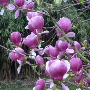 Magnolia 'Rustica Rubra' – Pot de 5 litres