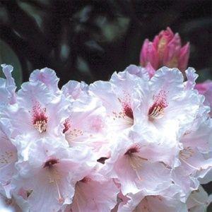 Rhododendron 'Loderi King Georges' – pot de 5 litres, hauteur 30/50cm, 3 ans d'âge
