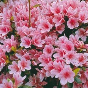 Azalée japonaise 'Kirin' (Rhododendron x Kurume 'Kirin')
